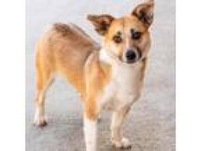 Adopt Butterfly 8989 a Pembroke Welsh Corgi / Mixed dog in Alpharetta