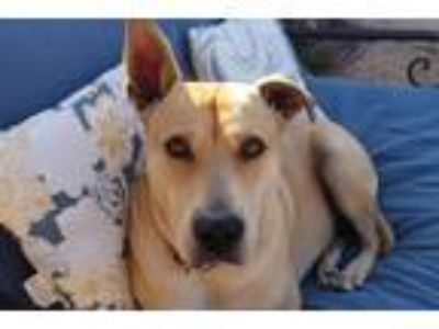 Adopt Sandy a Tan/Yellow/Fawn Labrador Retriever / Shepherd (Unknown Type) dog