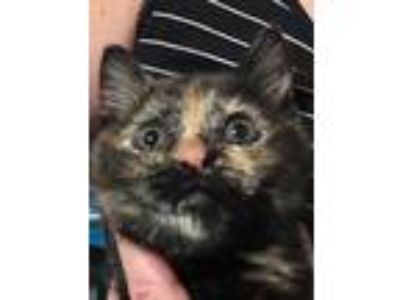 Adopt Opal a Tortoiseshell Domestic Shorthair (short coat) cat in Gaithersburg