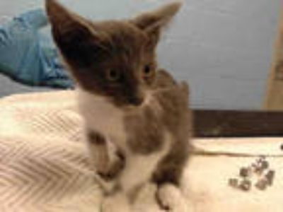 Adopt FINEAS a Gray or Blue (Mostly) Domestic Shorthair / Mixed (short coat) cat