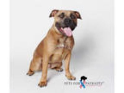 Adopt *ISABEL a Brown/Chocolate - with White American Pit Bull Terrier / Mixed