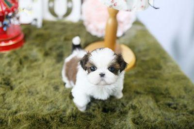 Pomeranian PUPPY FOR SALE ADN-75835 - Cute Adorable Purebred Toy Shih Tzu