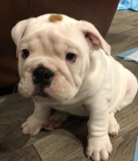 English Bulldog PUPPY FOR SALE ADN-100122 - AKC English Bulldog Puppies