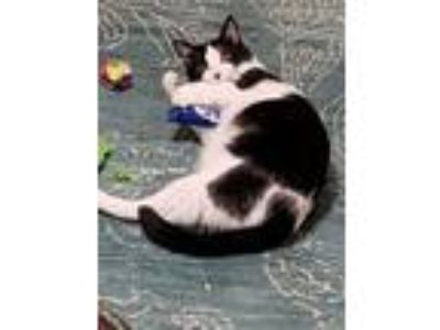 Adopt Jasmine a Black & White or Tuxedo Domestic Shorthair (short coat) cat in