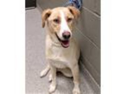Adopt Tani a Tan/Yellow/Fawn - with White Australian Cattle Dog / Golden