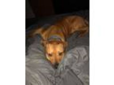 Adopt Starsky a Pit Bull Terrier, Mixed Breed