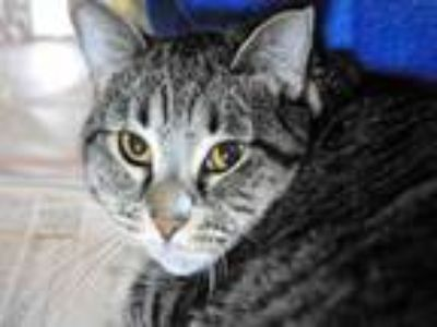 Adopt MAYLEEN a Domestic Short Hair
