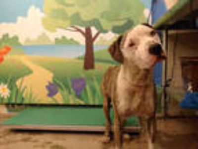Adopt GEORGE a Brindle - with White American Pit Bull Terrier / Mixed dog in