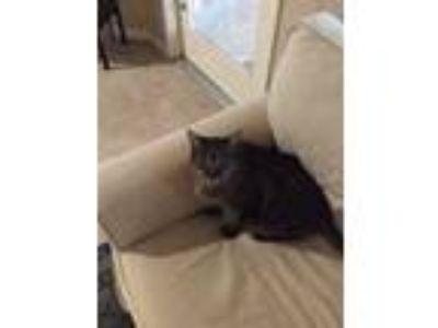 Adopt Mr Kitty a Tan or Fawn Tabby Domestic Mediumhair cat in La Quinta