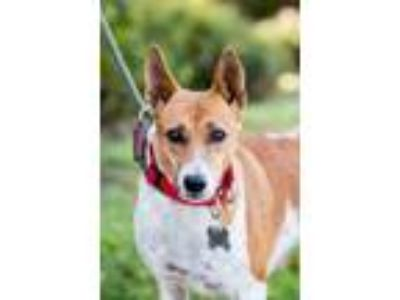 Adopt Bolly a Basenji, Cattle Dog