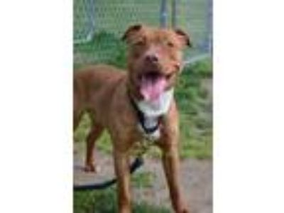 Adopt Lancelot a Pit Bull Terrier / Mixed dog in Vineland, NJ (24570421)