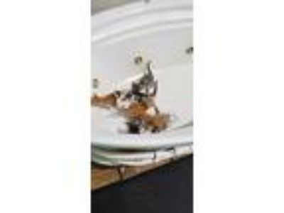 Adopt 10 kittens a Spotted Tabby/Leopard Spotted Domestic Shorthair cat in Baton