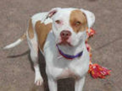 Adopt LOVE a White - with Brown or Chocolate American Pit Bull Terrier / Mixed