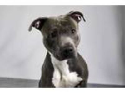 Adopt MALCOM a Gray/Silver/Salt & Pepper - with White American Staffordshire