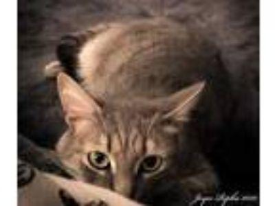 Adopt *JAVA a Gray, Blue or Silver Tabby Domestic Shorthair / Mixed (short coat)