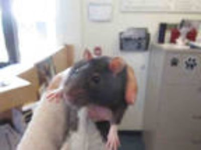 Adopt EBON a Black Rat / Mixed small animal in Santa Maria, CA (25751030)