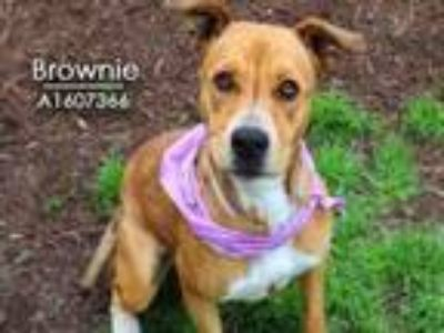 Adopt BROWNIE a Staffordshire Bull Terrier, Mixed Breed