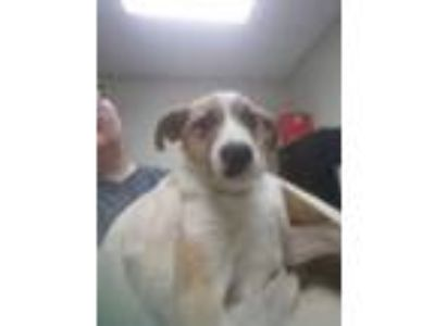 Adopt Donovan a White Labrador Retriever / Mixed dog in Alpharetta