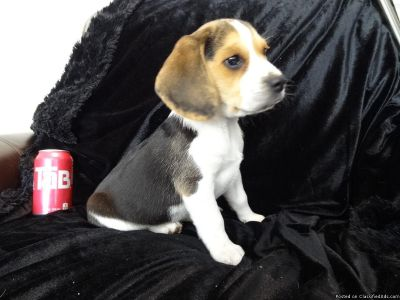 Talented beagle puppies
