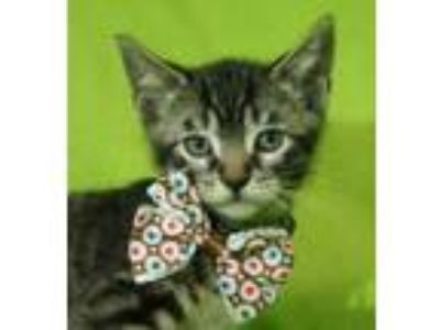 Adopt Amos a Domestic Short Hair, Tiger