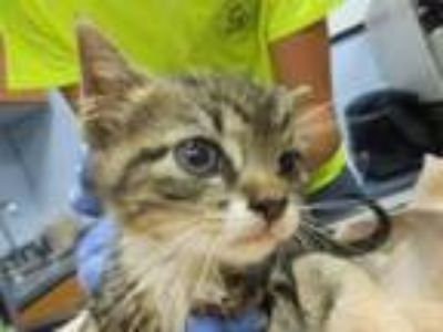 Adopt Dunkin a Domestic Short Hair