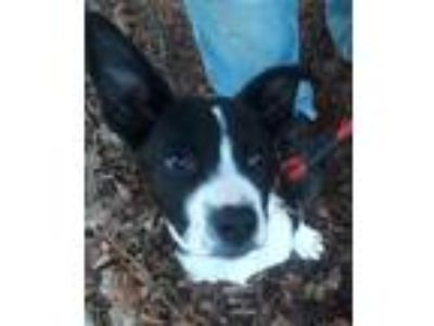 Adopt Jester a Black - with White Border Collie / Shepherd (Unknown Type) /
