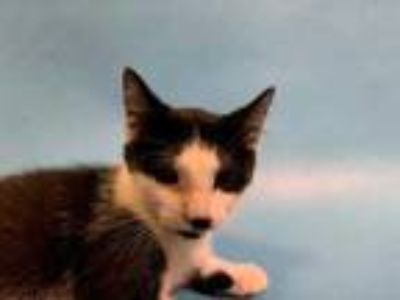 Adopt Steve a All Black Domestic Shorthair / Mixed cat in St.