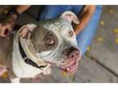 Adopt Catarina a American Pit Bull Terrier / Mixed dog in San Diego