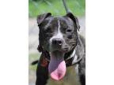 Adopt Ivan a Pit Bull Terrier / Mixed dog in Tarboro, NC (25865446)