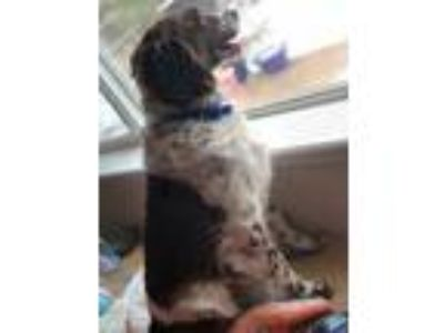 Adopt CO/Hope a Brittany Spaniel