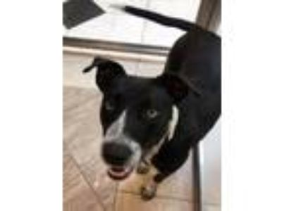 Adopt April a Border Collie, Mixed Breed