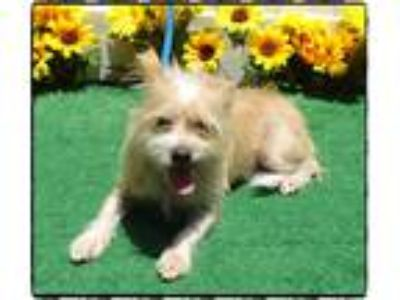 Adopt DIESEL a Tan/Yellow/Fawn Wirehaired Fox Terrier / Mixed dog in Marietta