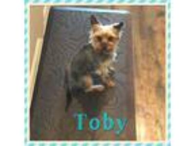 Adopt Toby Jake (TJ) - Dallas a Yorkshire Terrier