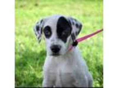 Adopt Bandit a Pointer, Labrador Retriever