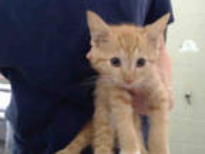 Adopt OPIE a Orange or Red Tabby Domestic Shorthair / Mixed (short coat) cat in