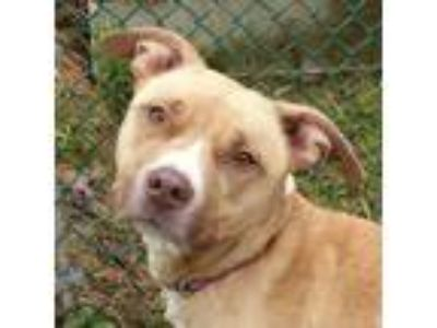 Adopt Kitty a Tan/Yellow/Fawn American Pit Bull Terrier / Mixed dog in Valley
