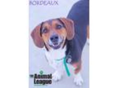Adopt Bordeaux a Tricolor (Tan/Brown & Black & White) Basset Hound / Mixed dog