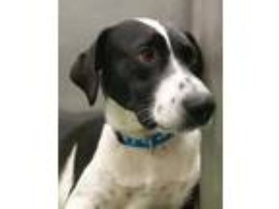 Adopt Edward a Black Border Collie / Labrador Retriever / Mixed dog in The