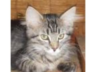 Adopt SweetCatomine a Maine Coon, Domestic Medium Hair
