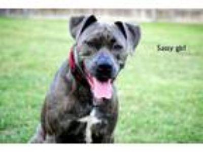 Adopt Sassy a Gray/Blue/Silver/Salt & Pepper American Pit Bull Terrier / Mixed
