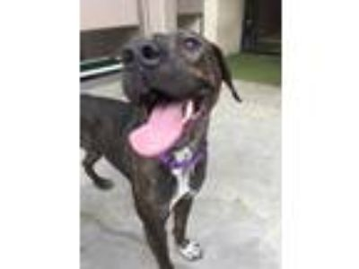 Adopt Snickers a Brindle American Pit Bull Terrier / Mixed dog in Honolulu