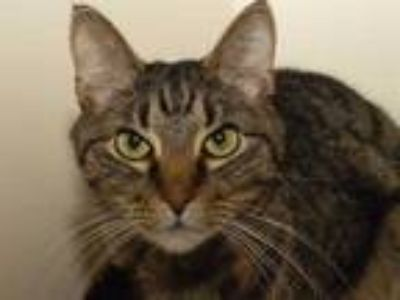 Adopt MALI a Brown Tabby Domestic Shorthair / Mixed (short coat) cat in