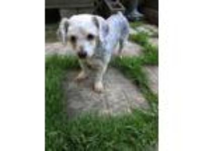 Adopt Chanel (Fostered in TN) a Yorkshire Terrier, Bichon Frise