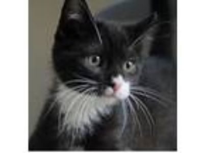 Adopt Mr. Whiskers a Domestic Short Hair, Tuxedo