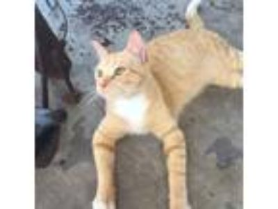 Adopt Ranger a Orange or Red Tabby Domestic Shorthair (short coat) cat in