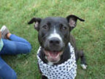 Adopt MOLASSES a Black - with White American Pit Bull Terrier / Mixed dog in
