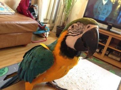 Nice Macaw parrots ready