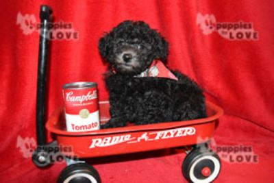 Poodle (Toy) PUPPY FOR SALE ADN-94344 - AKC TOY FULL REGISTRATION
