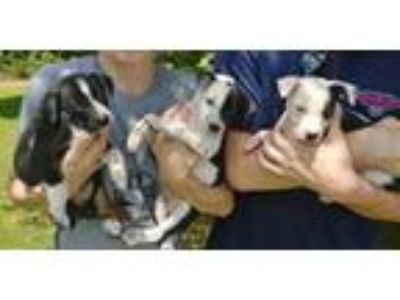 Adopt Jax, Sweep and Remy a Border Collie, Mixed Breed