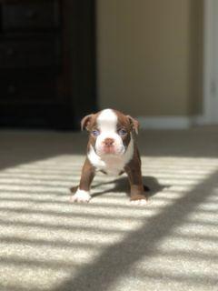 Boston Terrier PUPPY FOR SALE ADN-64506 - Heather Truelove